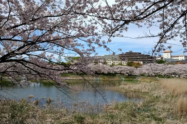 Rapportから徒歩で約3分の緑区「ほら貝公園」の桜が満開です♬