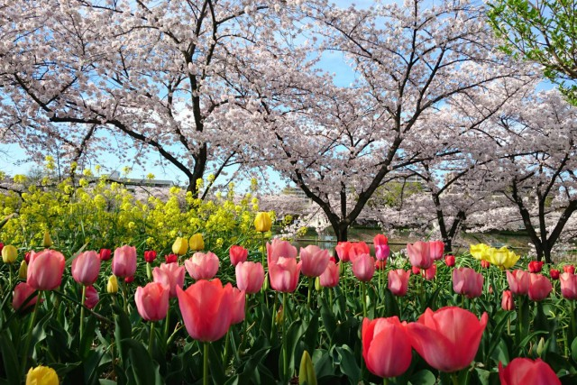 桜満開♬『ほら貝池公園』